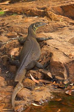 Mertens' Water Monitor (Varanus mertensi) sunbathing, Batchelor, Northern Territory, Australia  -  Martin Willis