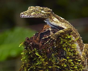 Northern Leaf-tailed Gecko (Saltuarius cornutus), Atherton Tableland, Queensland, Australia  -  Martin Willis