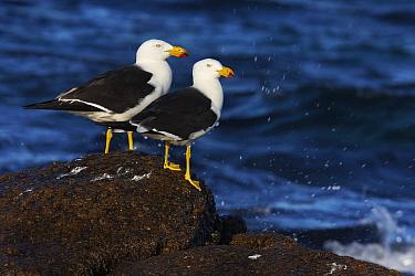 Pacific Gull (Larus pacificus) pair by the ocean, Cheyne Beach, Western Australia, Australia  -  Martin Willis