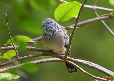 Peaceful Dove (Geopelia placida), Townsville, Queensland, Australia  -  Martin Willis