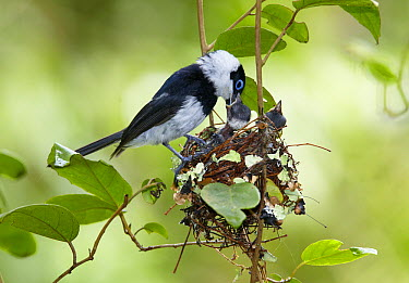 Pied Monarch (Arses kaupi) male feeding fledglings in vine nest, Atherton Tableland, Queensland, Australia  -  Martin Willis