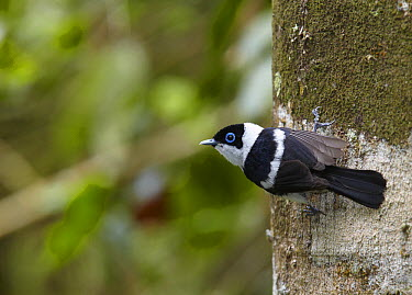 Pied Monarch (Arses kaupi) male, Atherton Tableland, Queensland, Australia  -  Martin Willis