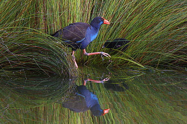Purple Swamphen (Porphyrio porphyrio) reflected in the water as it feeds chick, Mongers Lake, Western Australia, Australia  -  Martin Willis
