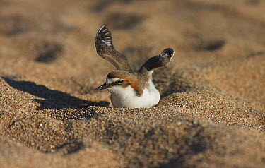 Red-capped Plover (Charadrius ruficapillus) female in diversion display, Townsville, Queensland, Australia  -  Martin Willis
