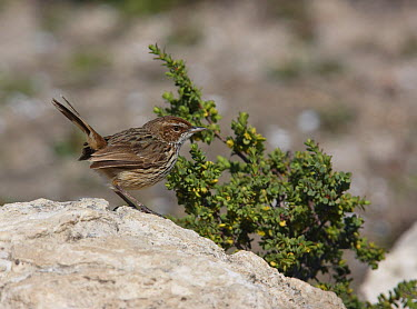 Rufous Calamanthus (Calamanthus campestris), Lincoln Peninsula, South Australia  -  Martin Willis
