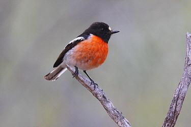 Scarlet Robin (Petroica boodang) male, Dryandra Woodland State Forest, Western Australia, Australia  -  Martin Willis
