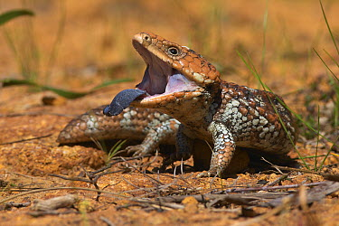 Stump-tailed Skink (Trachydosaurus rugosus) in threat display with extended tongue, Darling Range, Western Australia, Australia  -  Martin Willis