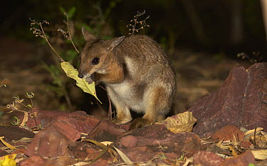 Wilkin's Rock-wallaby (Petrogale wilkinsi) eating leaf, Batchelor, Northern Territory, Australia  -  Martin Willis