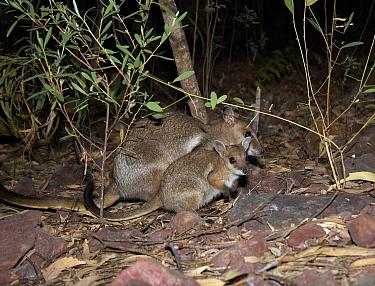 Wilkin's Rock-wallaby (Petrogale wilkinsi) and joey, Australia  -  Martin Willis
