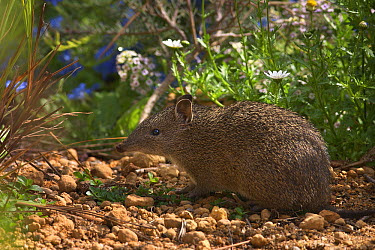 Southern Brown Bandicoot (Isoodon obesulus) foraging in the undergrowth, Darling Range, Western Australia, Australia  -  Martin Willis