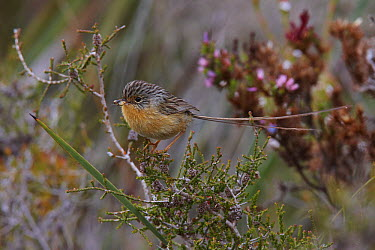 Southern Emuwren (Stipiturus malachurus) female, Cheyne Beach, Western Australia, Australia  -  Martin Willis