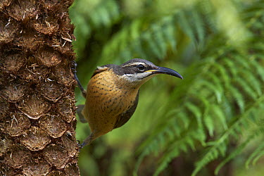 Victoria's Riflebird (Ptiloris victoriae) female, Paluma Range National Park, Queensland, Australia  -  Martin Willis