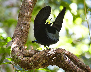 Victoria's Riflebird (Ptiloris victoriae) male displaying on vine lek to attract females, Malanda, Queensland, Australia  -  Martin Willis
