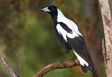 Australian Magpie (Gymnorhina tibicen) male, Darling Range, Western Australia, Australia  -  Martin Willis
