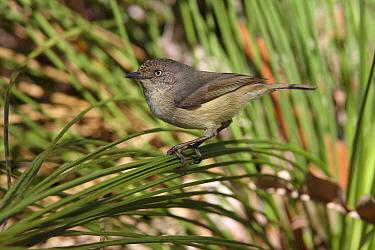 Western Thornbill (Acanthiza inornata), Darling Range, Western Australia, Australia  -  Martin Willis