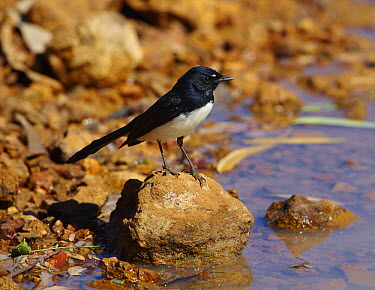 Willie-wagtail (Rhipidura leucophrys), Winton, Queensland  -  Martin Willis