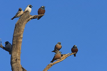 White-browed Woodswallow (Artamus superciliosus) and Masked Woodswallow (Artamus personatus) groups gather in dead tree, Bourke, New South Wales, Australia  -  Martin Willis