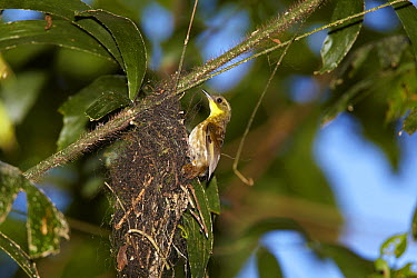 Yellow-throated Scrubwren (Sericornis citreogularis) female building nest, Malanda, Queensland, Australia  -  Martin Willis