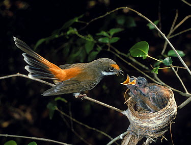 Rufous Fantail (Rhipidura rufifrons) feeding chicks in nest, Cooranbong, New South Wales, Australia  -  Martin Willis