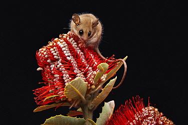 Western Pygmy Possum (Cercartetus concinnus) seeking nectar on red banksia flower, Cheyne Beach, Western Australia, Australia  -  Martin Willis