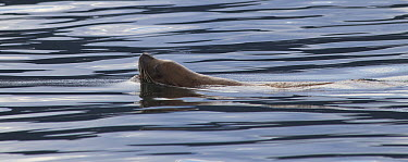 Harbor Seal (Phoca vitulina) swimming near Juneau, Alaska  -  Matthias Breiter