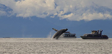 Humpback Whale (Megaptera novaeangliae) breaching in front of whale watching boats, Juneau, Alaska  -  Matthias Breiter