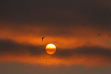 Seabirds in front of sun obscured by sea fog, Oregon  -  Matthias Breiter