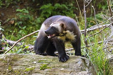Wolverine (Gulo gulo), Haines, Alaska  -  Matthias Breiter