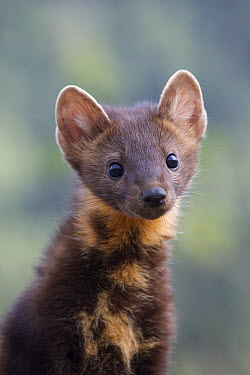 Pine Marten (Martes martes), native to Europe  -  Matthias Breiter