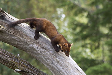 Pine Marten (Martes martes) running down log, native to Europe  -  Matthias Breiter