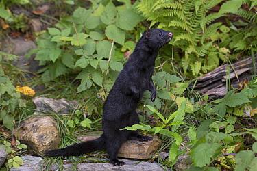 American Mink (Neovison vison) in dark winter coat standing on hind legs, Haines, Alaska  -  Matthias Breiter