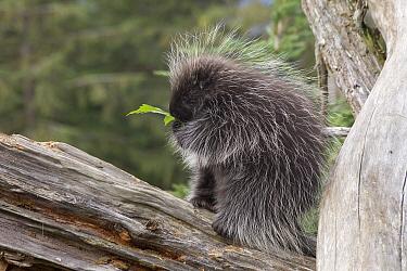 Common Porcupine (Erethizon dorsatum) feeding on leaves, Haines, Alaska  -  Matthias Breiter