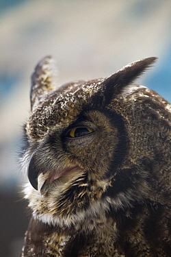Great Horned Owl (Bubo virginianus) portrait, Haines, Alaska  -  Matthias Breiter