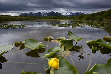 European Yellow Pondlily (Nuphar lutea) on pond with overcast sky, Katmai National Park, Alaska  -  Matthias Breiter