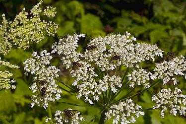 Hoverfly (Syrphidae) on Cow Parsnip (Heracleum maximum) blossoms, Haida Gwaii, Canada  -  Matthias Breiter