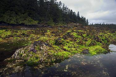 Low tide at Burnaby Narrows, Gwaii Hannas National Park, Haida Gwaii, Canada  -  Matthias Breiter