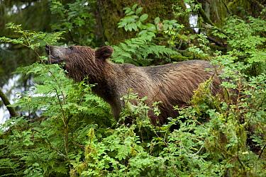 Grizzly Bear (Ursus arctos horribilis) feeding on berries along Anan Creek, Tongass National Forest, Alaska  -  Matthias Breiter