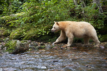Kermode Bear (Ursus americanus kermodei), white morph called spirit bear, Canada  -  Matthias Breiter