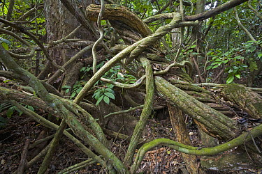Lianas twisting through rainforest, Ghana  -  Piotr Naskrecki