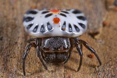 West African Button Spider (Aetrocantha falkensteini), Ghana  -  Piotr Naskrecki