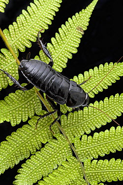 Cockroach (Eurycotis sp) on fern, Costa Rica  -  Piotr Naskrecki
