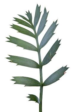 Ferocious Blue Cycad (Encephalartos horridus) leaf, South Africa  -  Piotr Naskrecki