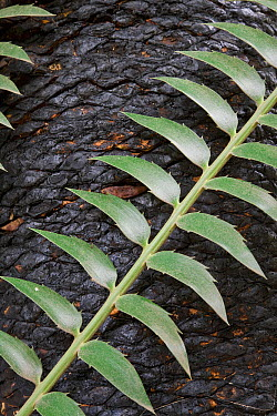 Cycad (Cycas sp) new leaf with burned trunk after fire, South Africa  -  Piotr Naskrecki