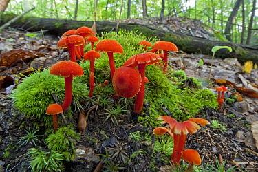 Waxcap (Hygrocybe sp) mushrooms, Connecticut  -  Piotr Naskrecki