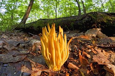 Golden Spindles (Clavulinopsis fusiformis) mushroom, Connecticut  -  Piotr Naskrecki