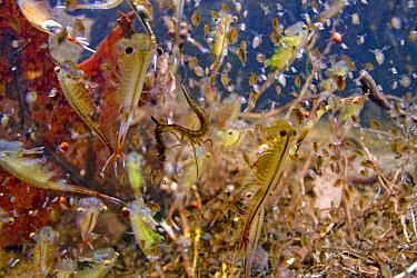 Eastern Fairy Shrimp (Eubranchipus vernalis) in vernal pond, Estabrook Woods, Massachusetts  -  Piotr Naskrecki