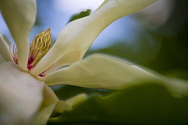 Umbrella Magnolia (Magnolia tripetala) flower, Estabrook Woods, Massachusetts  -  Piotr Naskrecki
