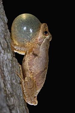 Spring Peeper (Pseudacris crucifer) male calling, Connecticut  -  Piotr Naskrecki