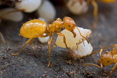 Citronella Ant (Lasius claviger) carrying a symbiotic white Aphid (Geoica sp) from which the ants drink honeydew, Estabrook Woods, Massachusetts  -  Piotr Naskrecki