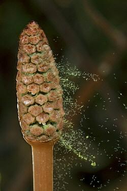 Field Horsetail (Equisetum arvense) releasing sporophytes, Estabrook Woods, Massachusetts  -  Piotr Naskrecki